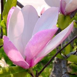 FloweringTree_5