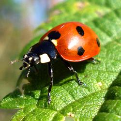 ladybug_article2