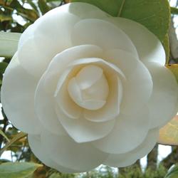 camellia_250x250_1
