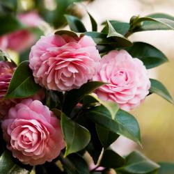 camellia_250x250_2