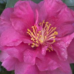 camellia_250x250_3